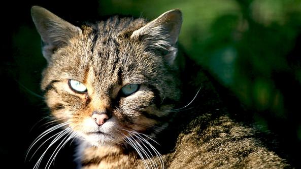 Gato felino lince personal personalizar psicologia agresion violencia muerte ira colera mirada enfado venganza bienestar control autogestion emocional inteligencia habilidad