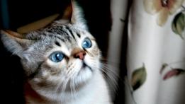 gato ojos azules libertad darsecuenta despertar espiritual emocional inteligencia emocional felino mirada sorprendente